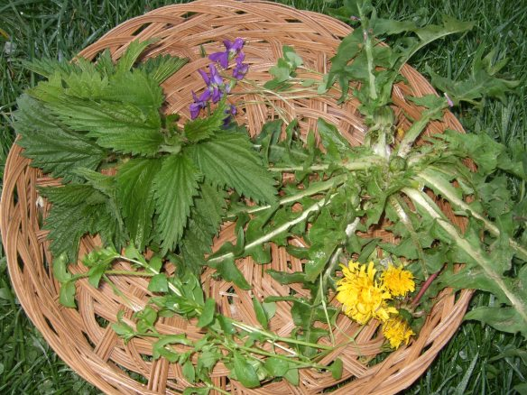 Common Edible Weeds in a basket: Violets, Dandelions, Chickweed, Stinging Nettle