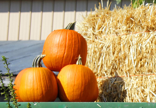 These pumpkins have cut stems. Good keepers!