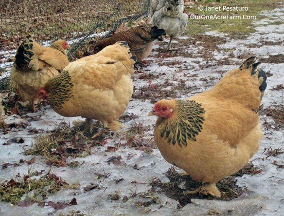 These Bantam Buff Brahmas are well-suited to colder climates.