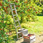 How To Harvest Fruit Without A Ladder