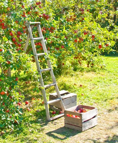 ladder-and-apple-tree