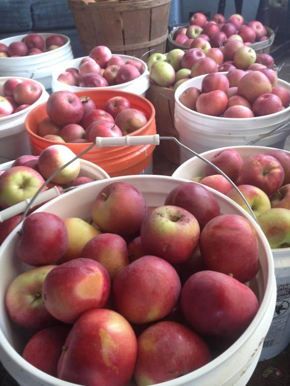 winter cover farm apples