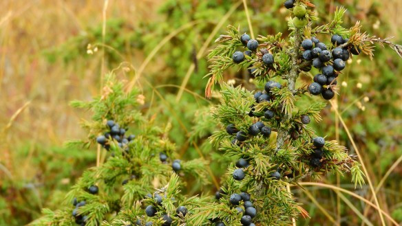 juniper berries bush