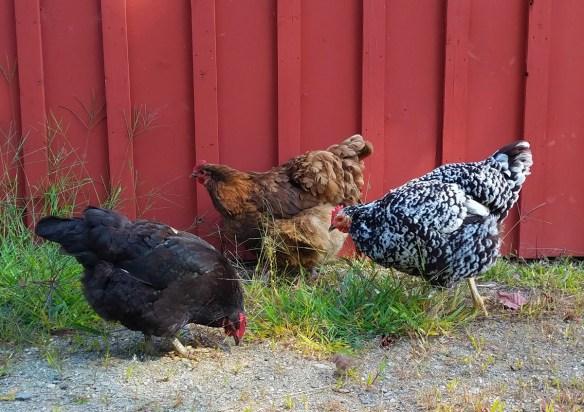 choosing chicken breeds