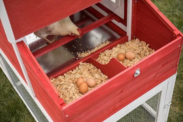 chicken in coop