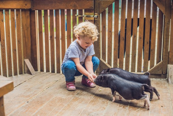 child with piglets