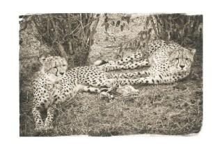 cheetahs-resting-after-hunting-kenya