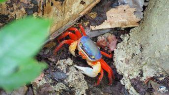 Crabe de sable