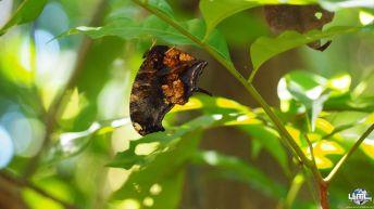 "Papillon ""feuille morte"" :-)"