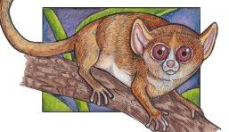 mouselemur