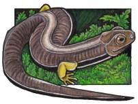 quarrywormsalamander