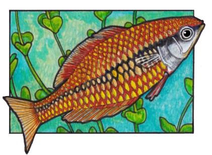 rainbowfish