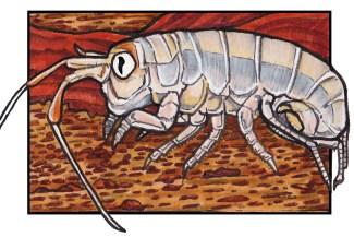 sandhopper