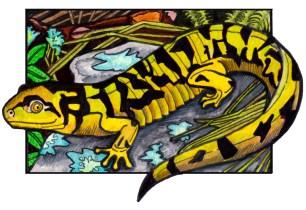 tigersalamander