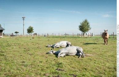 Surreales Ensemble am Dorfrand. Funkturm und Pferde mit Fliegenschutz vor den Augen, Opherten im Rheinland. Foto © Dietrich Hackenberg