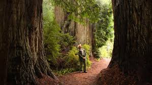 image of Coastal Redwoods Measured with lidar
