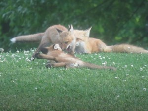 Foxes 082