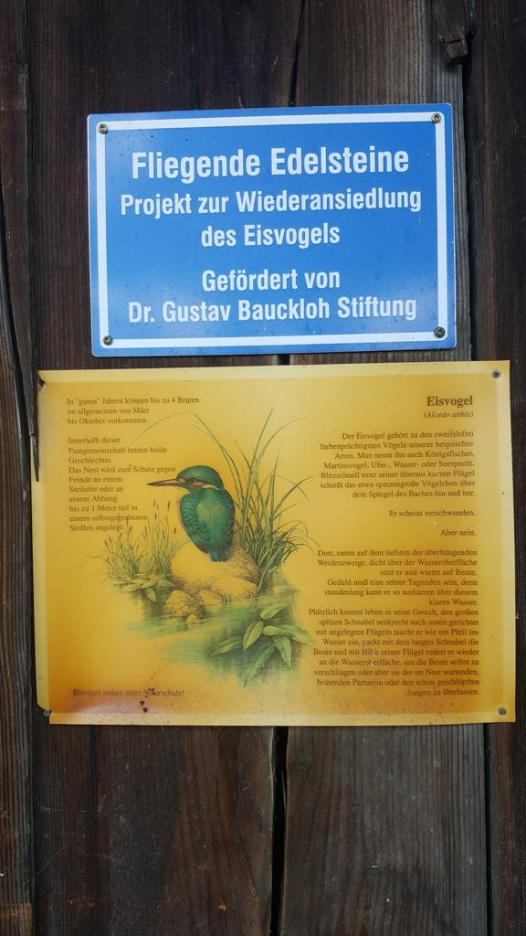 Projekt der Wiederansiedlung des Eisvogels