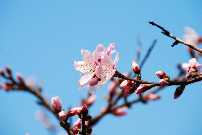 Sakura fioritura Giappone