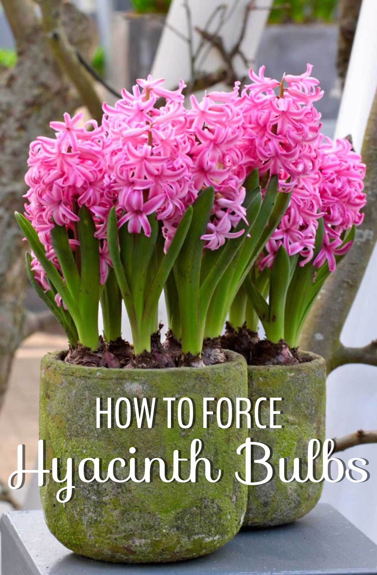 How To Force Hyacinth Bulbs For Indoor Flowers