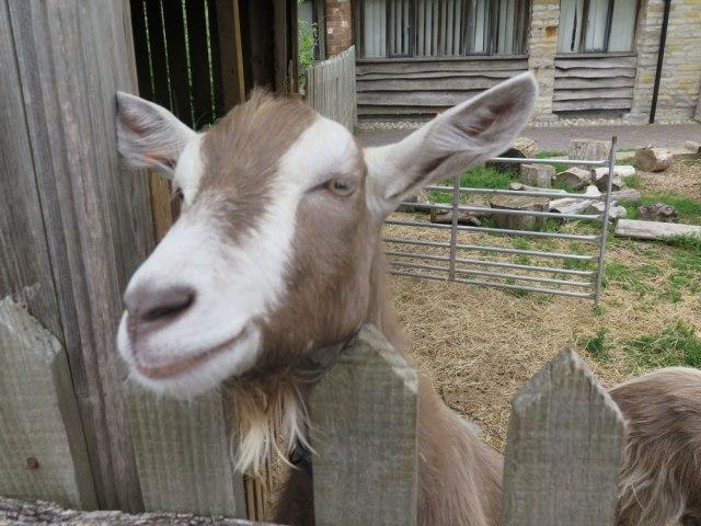 zoo_goat_img_8818