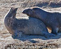Elephant Seals mating at Ano Neuvo, California