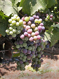 Napa Valley Vineyards - California