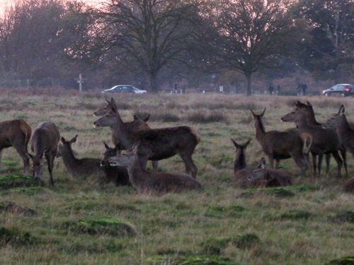 Herds of grazing deer at Richmond Park, London - © L. Silberstein