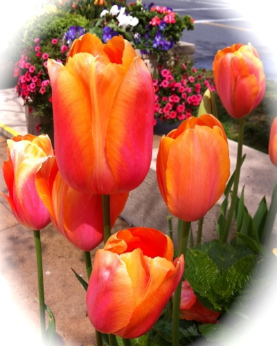Tulips for Mother's Day - Sunday, May 13, 2012