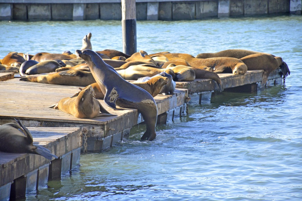 Sea Lions at Pier 39, San Francisco, CA