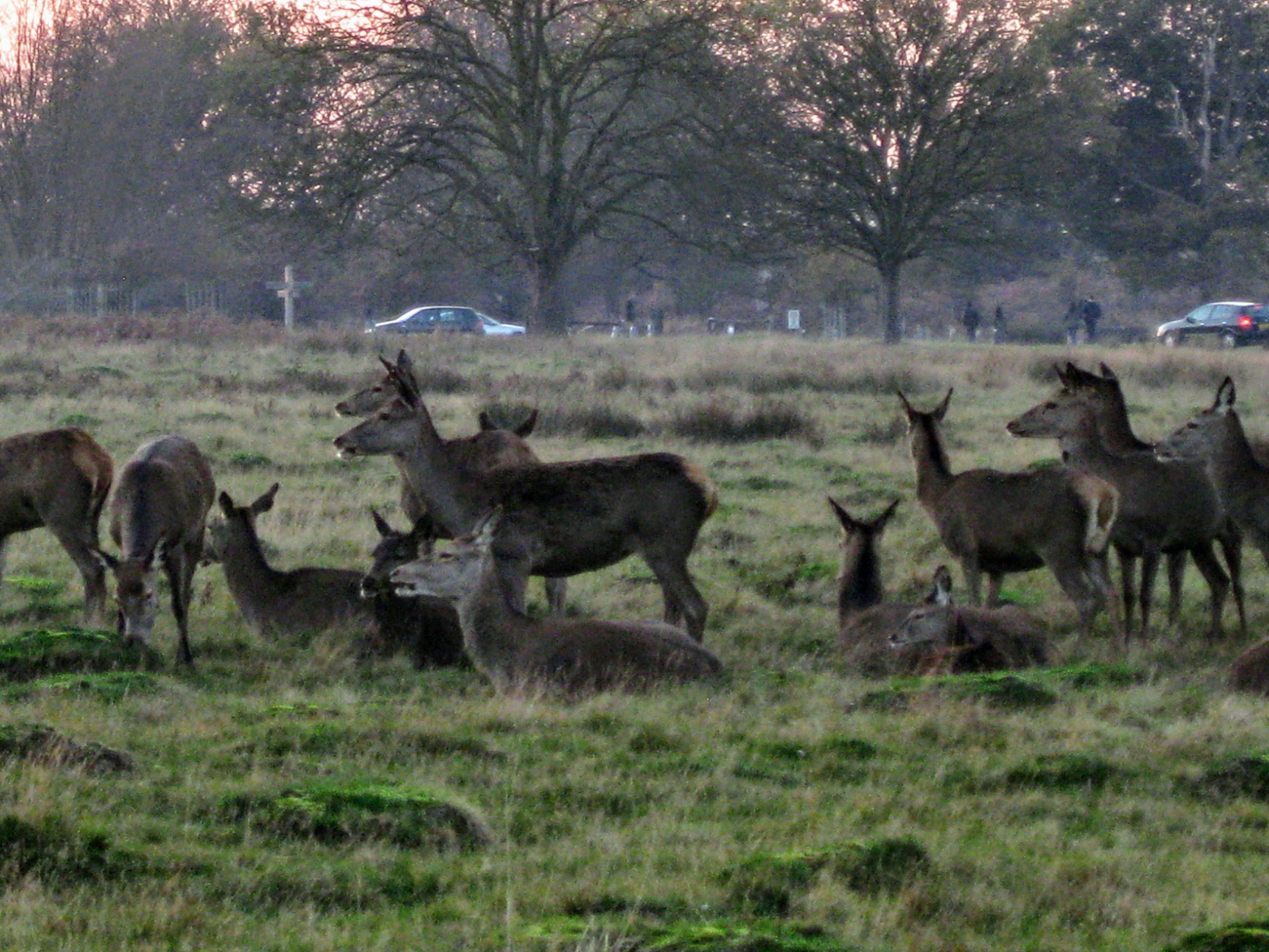 Deer at Isabella Plantation in Richmond Park, London