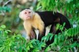 Capuchin Monkey of the Panama Canal