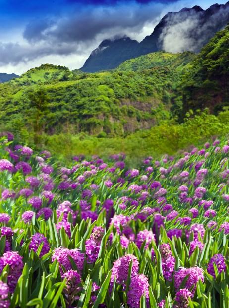 Polynesia. Tahiti. lupines Flower field