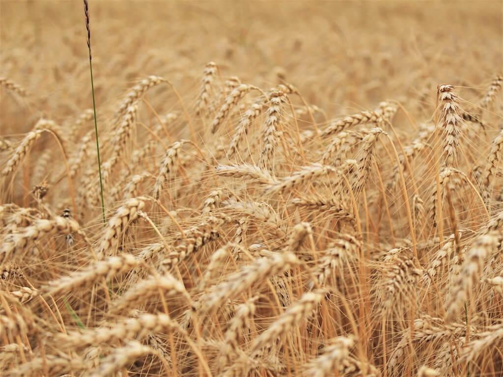 Warum Weizen aus der Ernährung streichen?