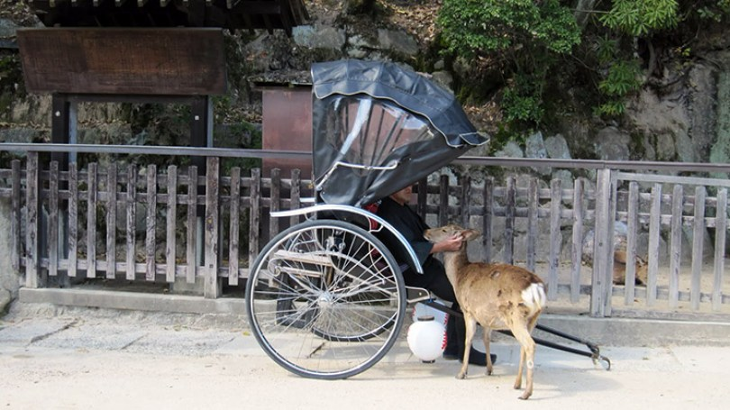 Miyajima-Hiroshima-saison-sakura-pousse-pousse-calin-daim