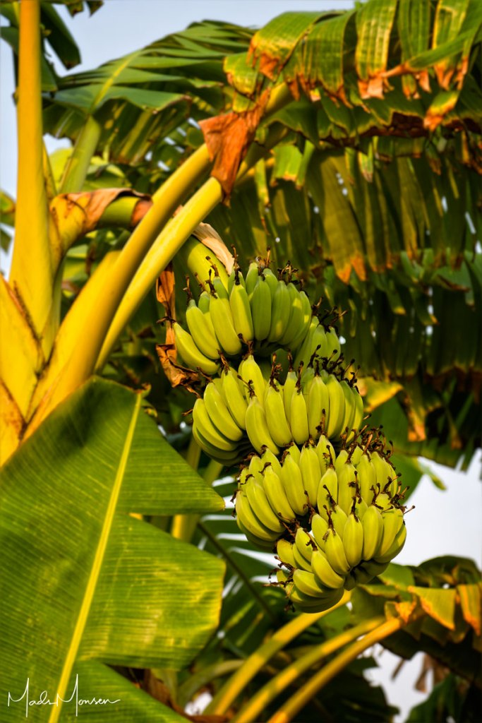 It's not all bamboo, there are also banana trees at the farm