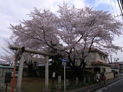 sakura_20110409_3.jpg