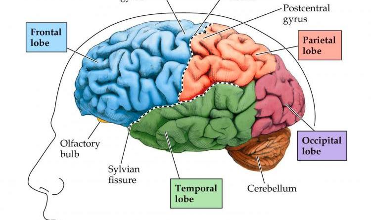 Human Brain What Is It Disease Of Best Foods
