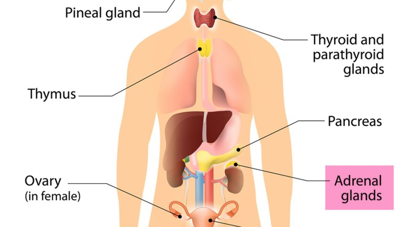 The Human Adrenal Glands |