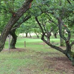 Vermutlich Pflaumenbäume