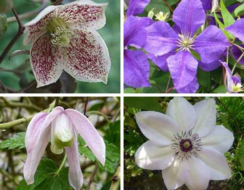 clematis success how to grow the handy mano manomano the sunday gardener types of clematis