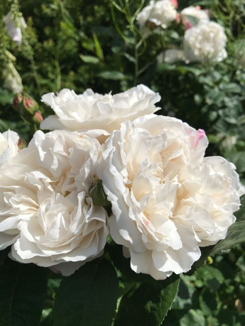 summer rose care how to care for roses the handy mano manomano the laundry rocks jenny williams winchester cathedral