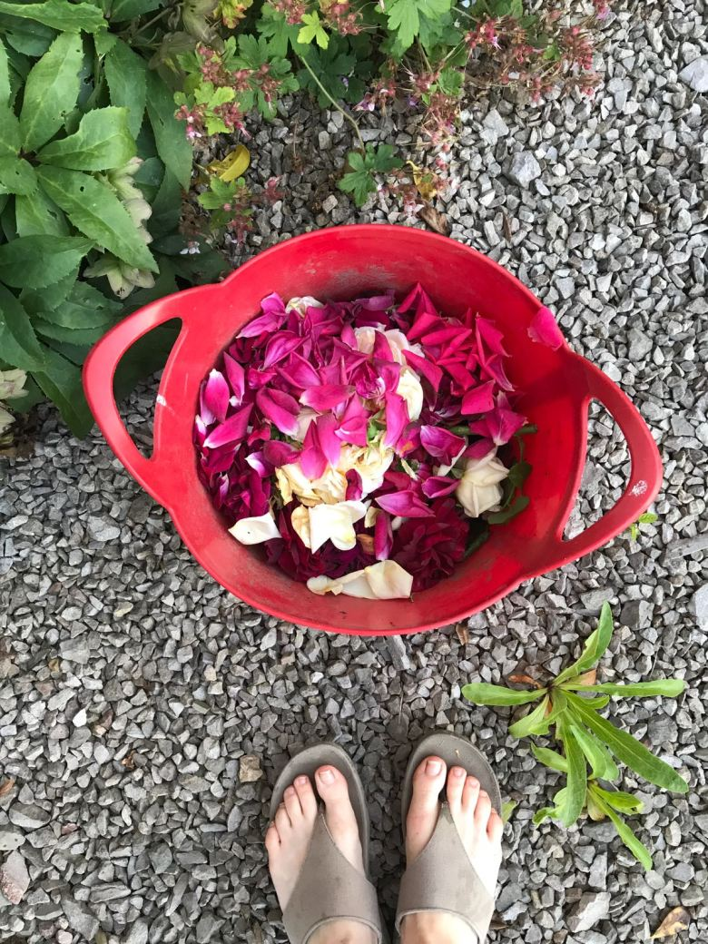summer rose care how to care for roses the handy mano manomano the laundry rocks jenny williams rose petals trug