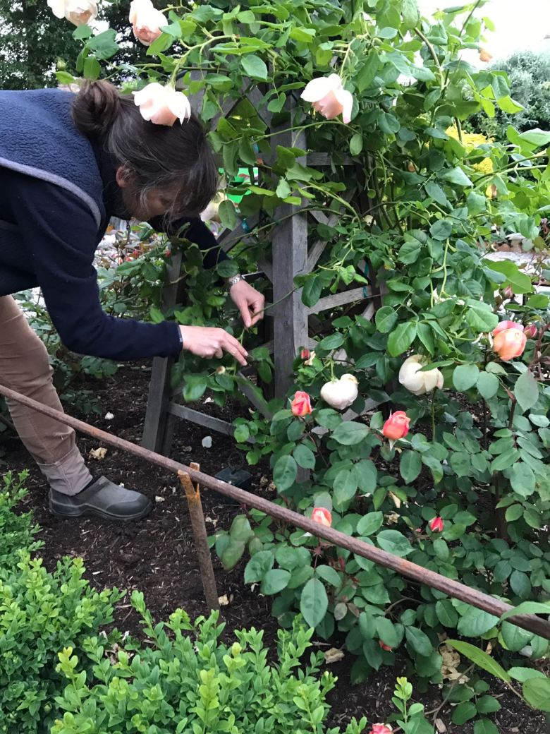 summer rose care how to care for roses the handy mano manomano the laundry rocks jenny williams tying in