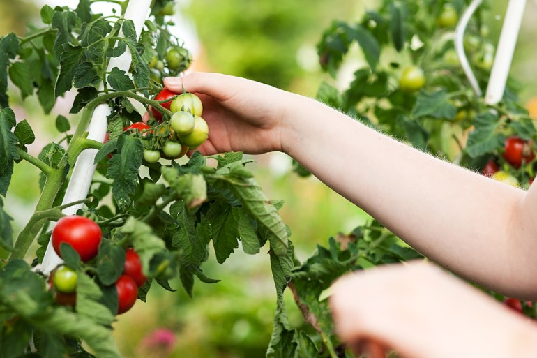 essential garden jobs for july the handy mano manomano picking tomatoes