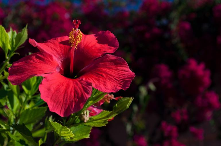 the handy mano manomano edible flowers hibiscus