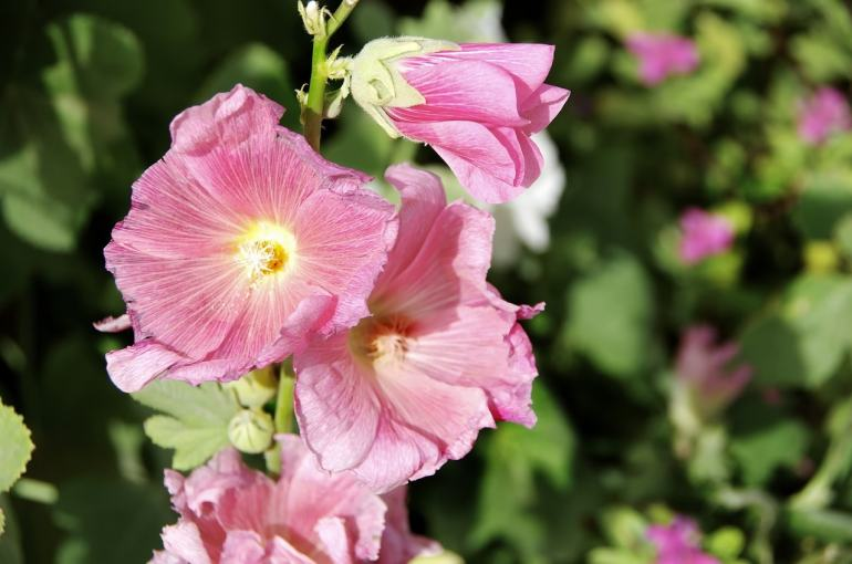 the handy mano manomano hollyhock edible flower hollyhock