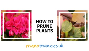 How to Prune Roses and Geraniums