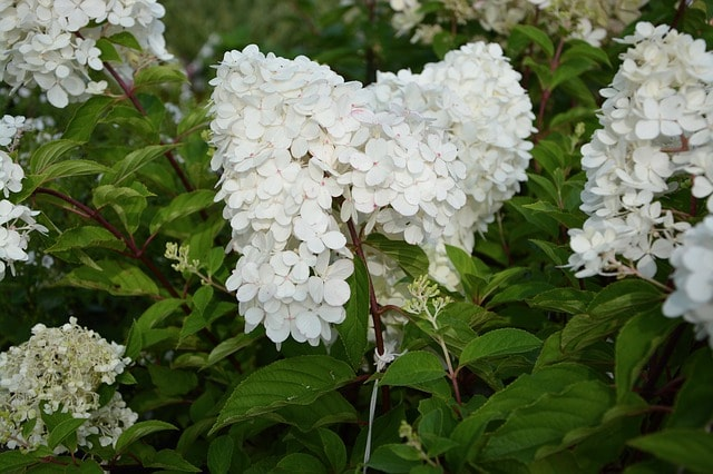 Types of shrubs mano mano the handy mano Hydrangea paniculata
