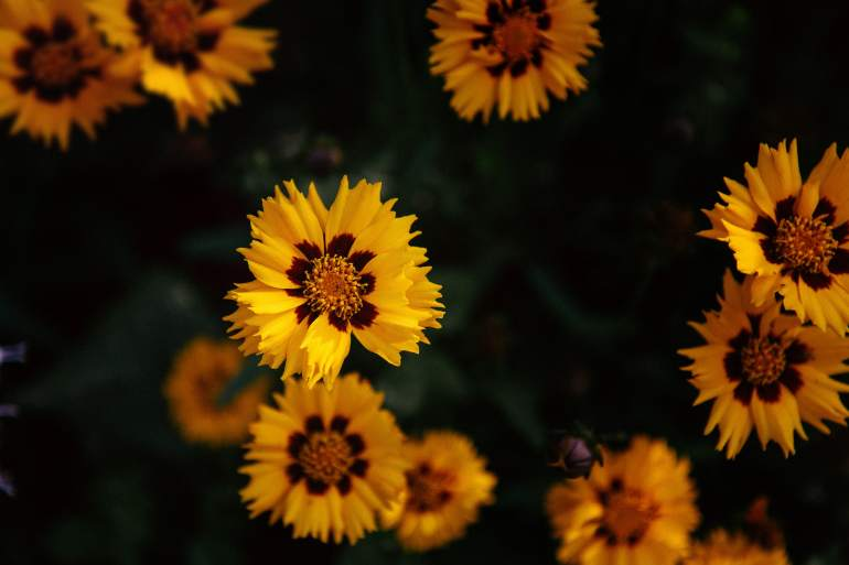 thehandymano mano mano low maintenance flowers coreopsis